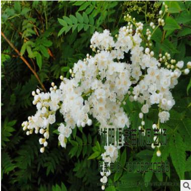 苗圃直销大量供应珍珠梅 规格齐全 大量绿化工程苗木 量大价优