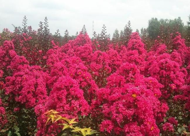 山东红叶紫薇