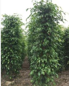 基地直销垂叶榕 大型观叶易种植耐旱绿篱苗木垂榕