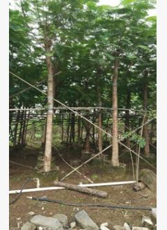 基地直销大型苗木凤凰木 观花易种植行道树红花楹