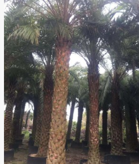 基地直销中东海枣 易种植抗风耐碱棕榈植物银海枣
