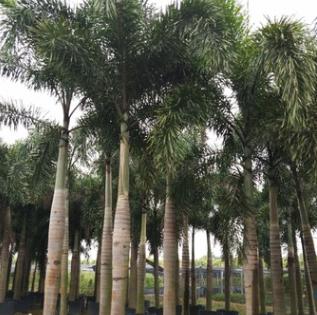 基地直销棕榈植物狐尾椰子 抗风易种植