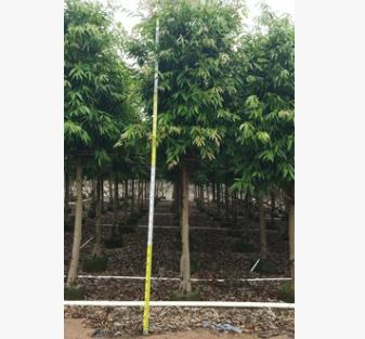 四季常青柳叶榕 例植排植皆可长叶榕