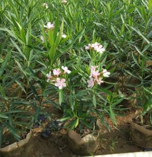 观赏花卉夹竹桃 群植丛植皆可甲竹桃