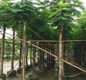 苗圃直销 凤凰木