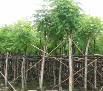园林绿化 蓝花楹