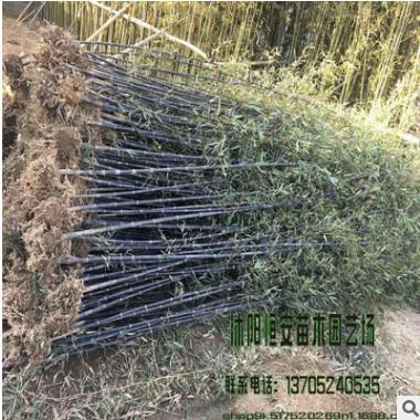 苗圃直销批发紫竹、慈孝竹等绿化工程苗木 规格齐全量多优惠