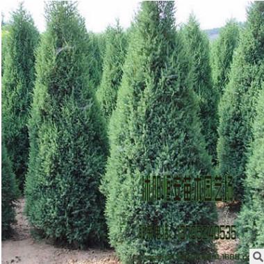 苗圃直销批发塔松 塔柏绿化 品种规格齐全 量大优惠