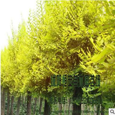 金叶榆树苗批发 规格齐全 苗圃直销 工程苗 工程绿化苗 行道树