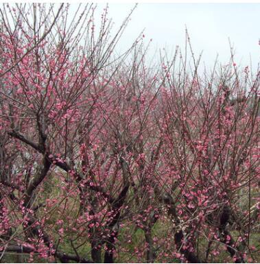 批发红梅树苗批发室外庭院观花植物盆栽红梅苗园林精品盆栽腊梅
