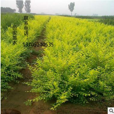 金叶榆树苗批发 苗圃直销 工程苗 工程绿化苗 行道树 规格齐全