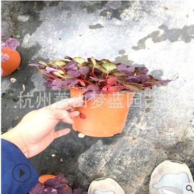 芙蓉醡浆草 冠幅10-30公分都有 品种 规格 齐全 精品优质苗 萧山