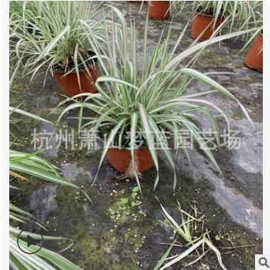 玉带草 冠幅10-80公分 园林 绿化 工程 用苗 成活率高 萧山 苗木