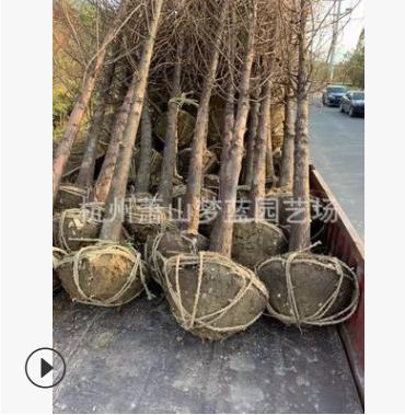 水杉 3-30公分 土球好 冠幅好 优质 精品苗 萧山 园林 绿化 苗木