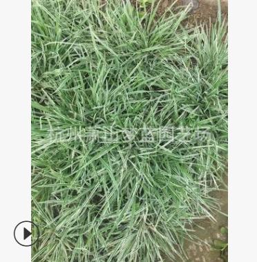 燕麦草 高度5-25 庭院 别墅 庭院 绿化 萧山 苗圃 成活率高 精品