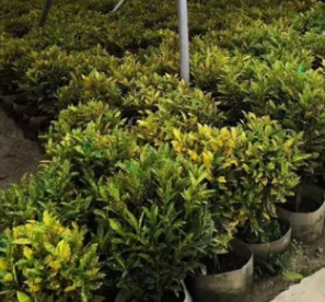 盆栽变叶木 基地直供彩叶植物洒金榕 多种规格