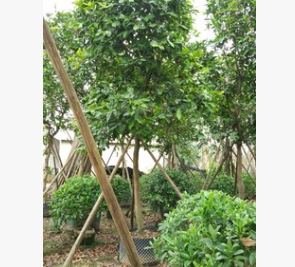 苗圃直销大型果树红蒲桃 易种植行道树莲雾树