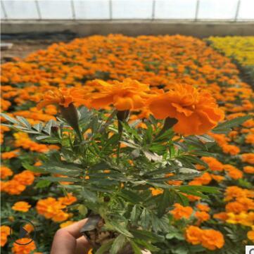 工程公园花海绿化孔雀草种子万寿菊红黄草 孔雀草盆栽