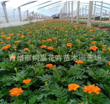 青州基地直销盆栽杯苗孔雀草苗万寿菊 景观绿化花卉盆栽 时令草花