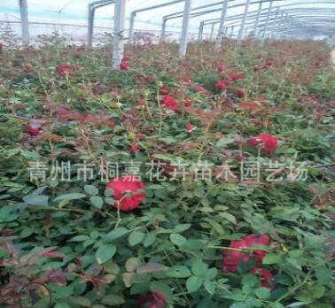 基地批发上盆大花月季 四季红藤 蔷薇庭院绿化