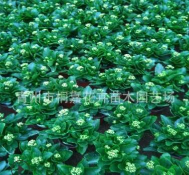 青州基地直销长寿花盆栽 重瓣多色盆栽花卉大量批发优惠