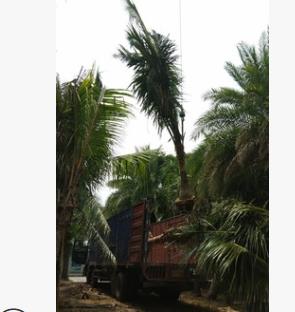 基地批发盆栽海南椰子树 抗风抗碱热带植物海南椰子