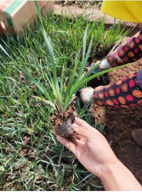 青州宿根花卉 基地直销优质多芽的马兰 营养杯苗绿化花海工程专用