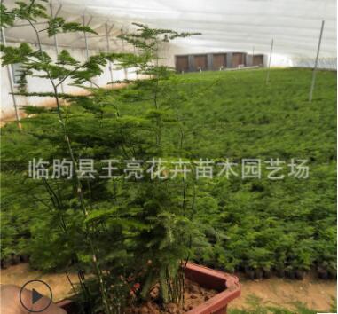 盆栽文竹 基地直供室内绿植栽盆景植物文竹 净化空气 四季常青