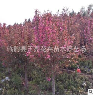 基地直销北美海棠 红宝石海棠 绿化工程景观北美海棠树