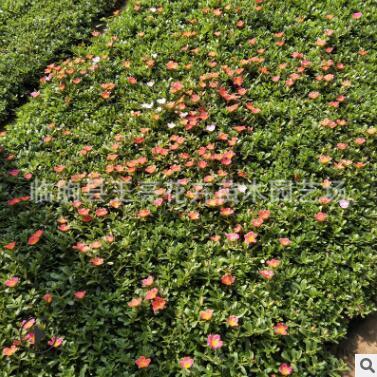批发销售重瓣太阳花苗 优质马齿笕小苗 四季开花植物