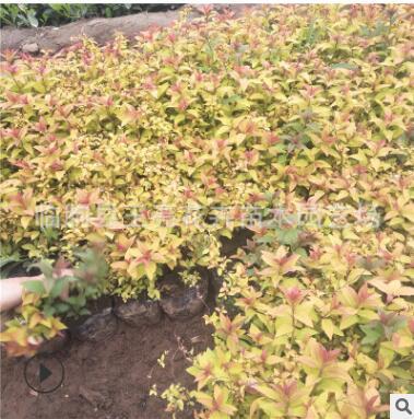 基地种植批发绿化苗木绣线菊 耐寒植物 绿化绣线菊小苗