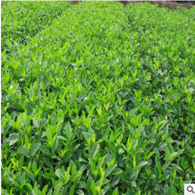 绿化苗木海桐批发 四季常青盆栽 护坡固土篱笆墙植物树苗气味芳香