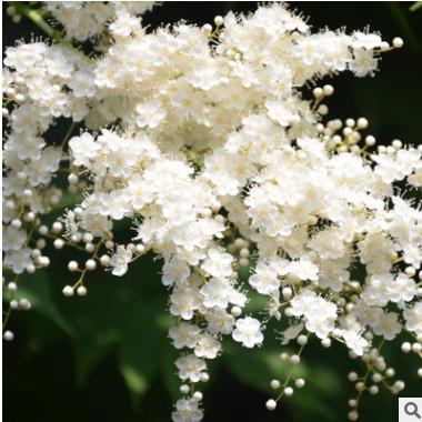苗圃直销珍珠梅 公园盆栽观花植物 小区绿化苗木嫁接珍珠梅树苗
