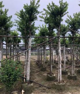 基地供应园林苗木 榕树 小叶榕