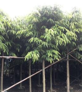 供应园林花木 柳叶榕