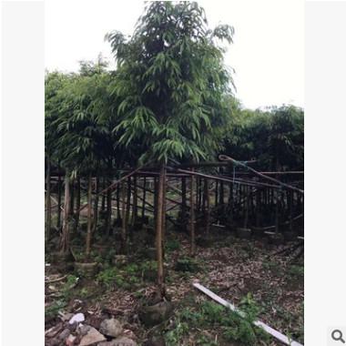 基地供应园林苗木 柳叶榕