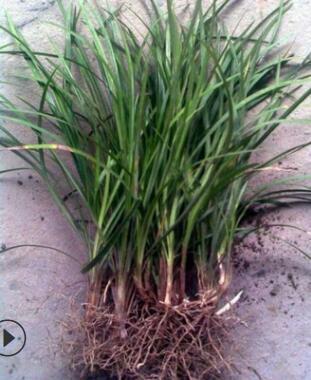 麦冬 萧山基地直销 细叶麦冬 矮麦冬 各种规格 绿化工程