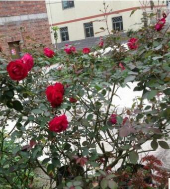 凌霄 紫藤 蔷薇月季 攀爬 植物