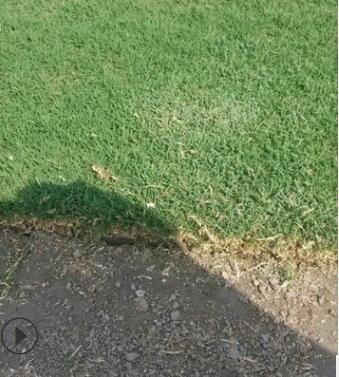 基地供应 果岭草 百慕大 马尼拉 草坪