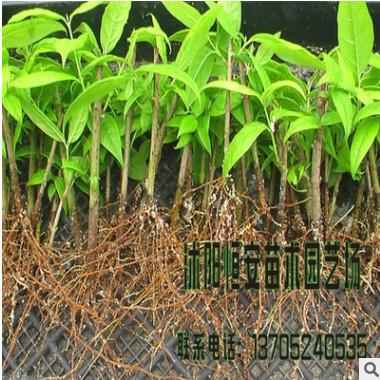 大量供应批发腊梅树 腊梅苗 花灌木 种类规格齐全 量大价优