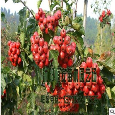 大量供应苗圃直销批发核桃、李子、枣树、山楂树果实树苗庭院栽植