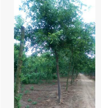 工程园林绿化皂角树1-30公分规格齐全皂荚树绿化园林苗木皂角树