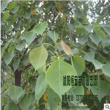 木瓜海棠树基地批发规格齐 全量大价优 工程绿化庭院