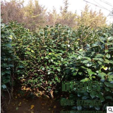 苗圃直销批发茶花树 十八学士、白荷花等工程花卉品种规格齐全