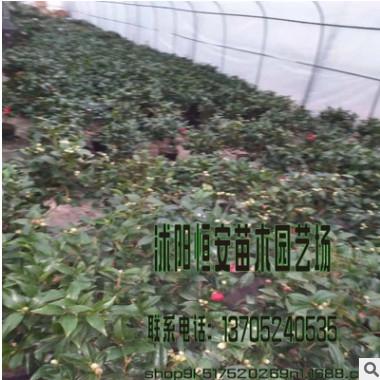 苗圃直销 批发茶梅 山茶科小乔木 品种齐全量多价优