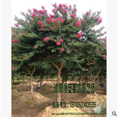 苗圃直销紫薇红花 又名百日红 红火箭 风景树 庭荫树 行道树