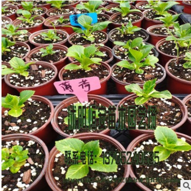 大量供应 蓝吻、粉吻、蓝、粉薄荷等绣球苗、八仙花苗杂交品种