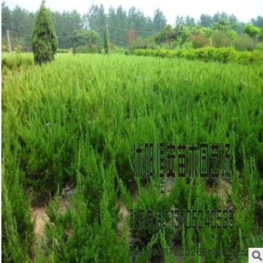 批发供应北京桧柏 绿篱北京桧柏 刺松刺柏 园林观赏品种齐全