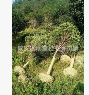 大桂花树八月桂金桂丹桂地径