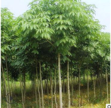 苗木基地直杆七叶树 园林绿化七叶树苗 风景工程苗七叶树苗批发
